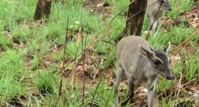Впервые в истории: ученым удалось сфотографировать редкое животное в Африке