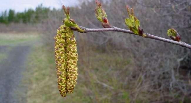 «Это очень полезно»: шеф-повар рассказал, как готовить апрельские почки растений