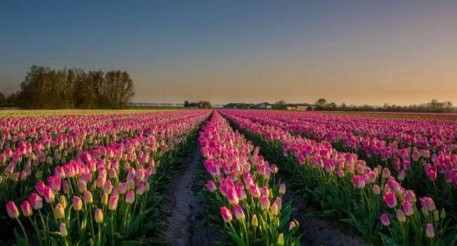 1 мая под Киевом откроется парк тюльпанов